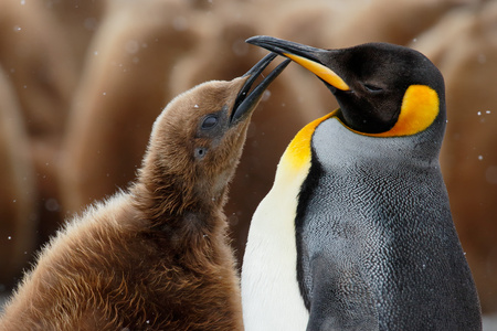 King penguin with begging check_44A6257-Fortuna Bay, South Georgia Islands, Southern ocean.jpg